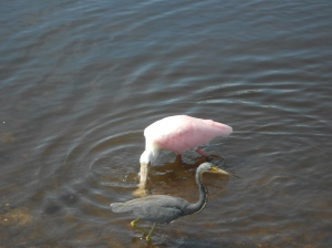 Roseate spoonbill and Tri-coloured heron