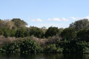 Orange groves near LaBelle