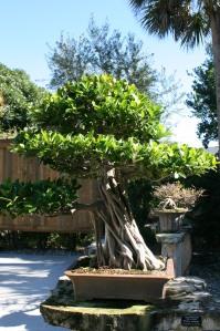 Bonsai Ficus, 25 years old