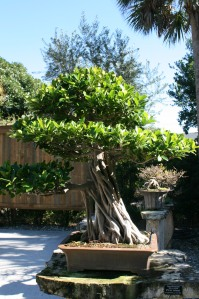 Bonsai Ficus, 25 years old