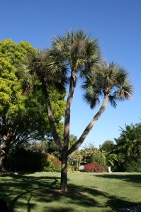 Triple-crowned sable palm