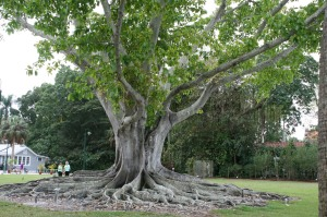 The Mysore Banyan tree
