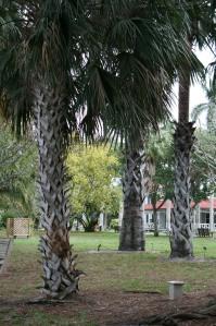 Palmyra Palms