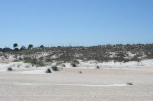 Sea oats and pioneer plants on the dunes