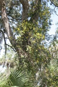 Carolina jasmine growing through the trees