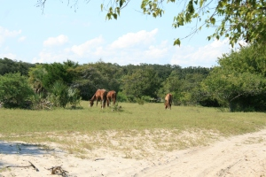 More feral horses, at a safe distance this time