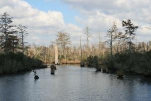 Cypress Knees, Chesapeake - Albemarle Canal