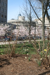 Blossom trees lining Franklin Square, Philadelphia