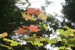 First tints of Fall in a maple sapling
