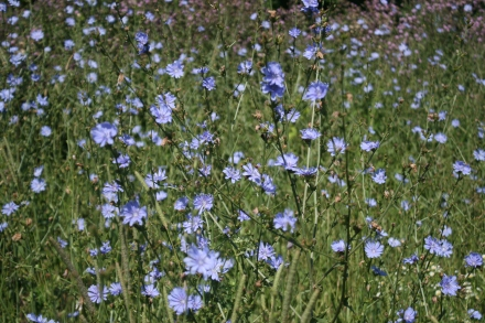 A mass of indigo on the river bank