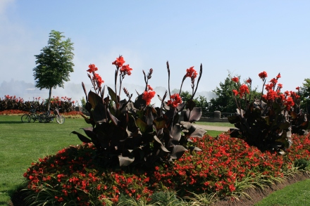 Canna Lilies with the Falls in the background
