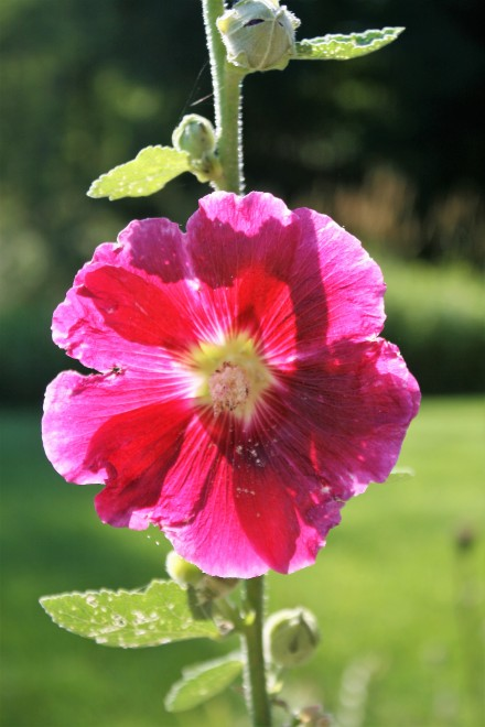IMG_0015Hollyhocks